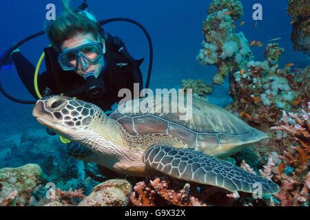 scuba diver and Hawksbill turtle, sea turtle, Hurghada, Egypt, Red Sea, Africa / (Eretmochelys imbricata) - Stock Photo