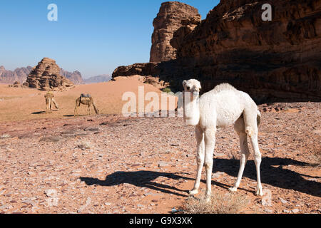 young dromedary, desert of Wadi Rum, Jordan, Minor Asia (Camelus dromedarius) / indian camel, dromedary - Stock Photo
