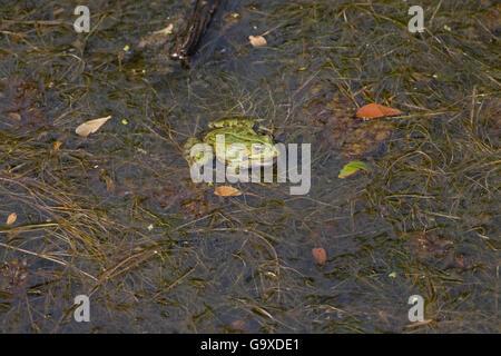 Edible frog Pelophylax kl. esculentus Réserve Ornithologique du Teich France - Stock Photo