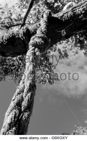 Weathered rope and knot seen on a the branch of a plumb tree, holding up a tyre for a child's swing. - Stock Photo