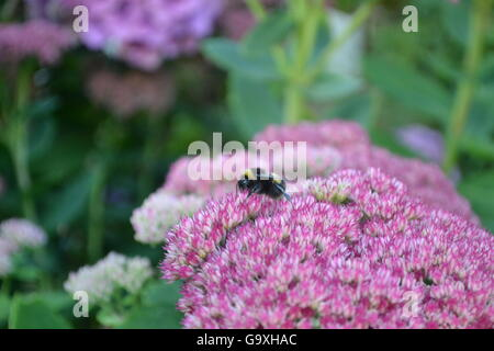 Bumble bee taking pollen from a pink Hydrangea in the garden - Stock Photo