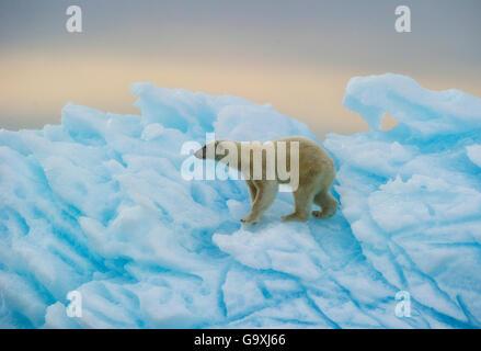 Polar bear (Ursus maritimus) walking over blue ice,  Nordaustlandet, Svalbard, Norway, July. - Stock Photo