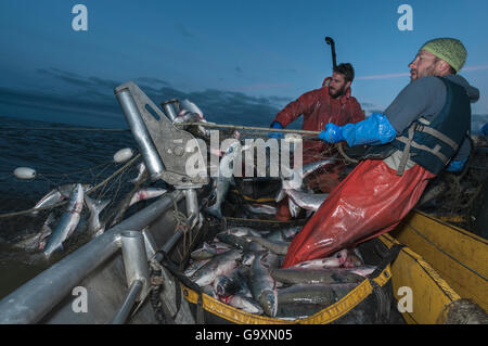 Fishermen haul in set gill net whilst fishing for Sockeye salmon (Oncorhynchus nerka) at night, Graveyard Point, - Stock Photo