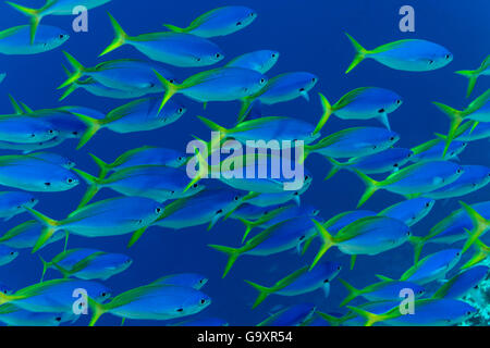 Blue and yellow fusiliers (Caesio teres) shoal, Great Barrier Reef, Queensland, Australia. - Stock Photo