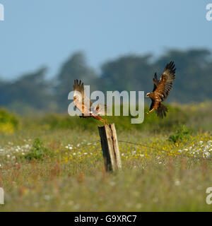 Western marsh harrier (Circus aeruginosus) male and female in flight low over the ground, Vendee, France, May. - Stock Photo