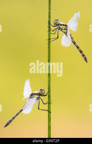 Common darter dragonflies (Sympetrum striolatum) two females resting on reed, Dunsdon Nature Reserve, Devon, UK. - Stock Photo