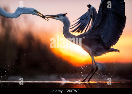 Grey heron (Ardea cinerea) and Great egret (Ardea alba) fighting over fish, Lake Csaj, Pusztaszer, Hungary, December. - Stock Photo