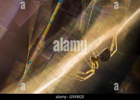 Sheetweb weaving spider (Linyphiidae) in web at sunset. The silk is refracting the light into a rainbow of coloured - Stock Photo