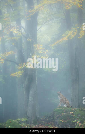 Eurasian lynx (Lynx lynx) in mist shrouded forest at dawn.  Captive, Bavarian Forest National Park, Germany. October. - Stock Photo