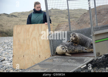 Jenny Lewis watching rescued Grey seal pups (Halichoerus grypus) peering from a trailer on a beach on release day, - Stock Photo