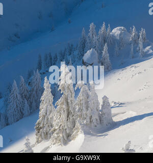 Norway spruce (Picea abies) trees covered in snow, Ciuc Mountains, Transylvania, Romania, January 2015. - Stock Photo