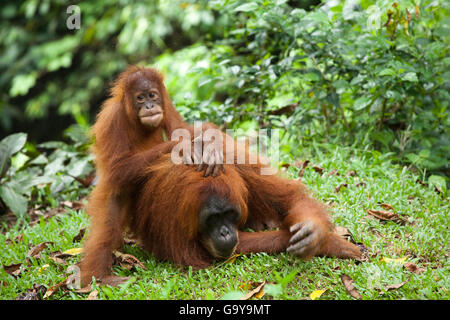 Sumatran orangutan (Pongo abelii) with young, in the rain forests of Sumatra, Indonesia, Asia - Stock Photo