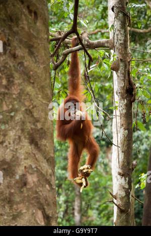 Sumatran orangutan (Pongo abelii) hanging from a tree and eating bananas, in the rainforest of Sumatra, Indonesia, - Stock Photo