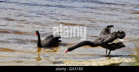 Two Australian black swans in wetland lake setting, one outstretched, with red bills and black plumage in Western - Stock Photo