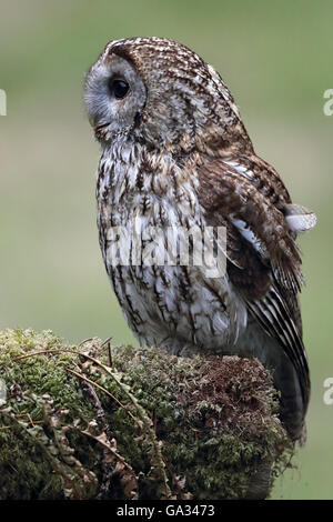 Tawny Owl (Strix aluco) perched on a mossy tree branch. Wild bird not captive. Taken in Scotland. - Stock Photo