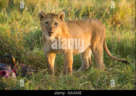 Lion cub on a kill (Panthero leo), Serengeti National Park, Tanzania - Stock Photo