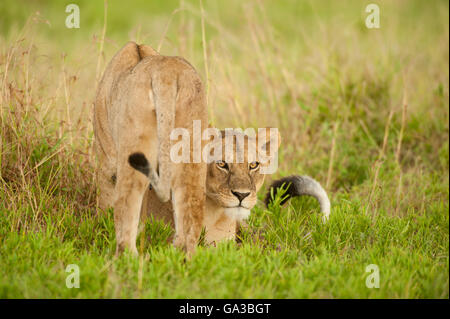 Lions (Panthero leo), Serengeti National Park, Tanzania - Stock Photo