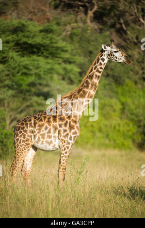 Maasai giraffe (Giraffa camelopardalis tippelskirchi), Serengeti National Park, Tanzania - Stock Photo