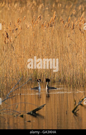 A pair of Great crested grebes (Podiceps cristatus), courtship display - Stock Photo