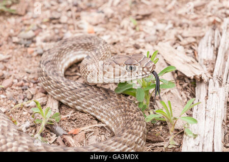 Western coachwhip, Masticophis flagellum testaceus, snake native to southern United States and Mexico - Stock Photo