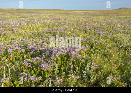 Salt marsh with Common Sea-Lavender, nature reserve De Slufter, national park Duinen van Texel, Texel, Netherlands - Stock Photo