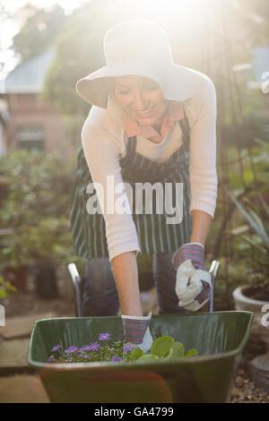 Female gardener arranging plants in wheelbarrow - Stock Photo