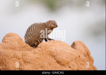 Banded mongoose sitting on a termite mound where it dens (Mungos mungo), Tarangire National Park, Tanzania - Stock Photo