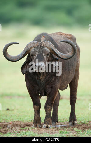 Buffalo (Syncerus caffer caffer), Lake Manyara National Park, Tanzania - Stock Photo