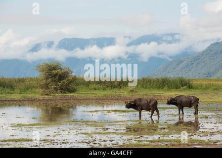 Buffalos (Syncerus caffer caffer) in front of the escarpment, Lake Manyara National Park, Tanzania - Stock Photo