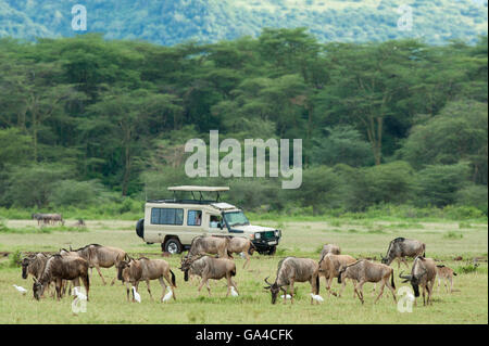 Tourists in safari vehicle watching Blue wildebeest (Connochaetes taurinus), Lake Manyara National Park, Tanzania - Stock Photo