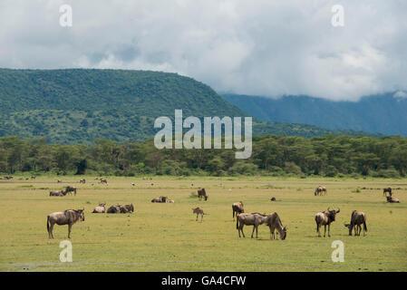 Blue wildebeest (Connochaetes taurinus) in front of the escarpent, Lake Manyara National Park, Tanzania - Stock Photo