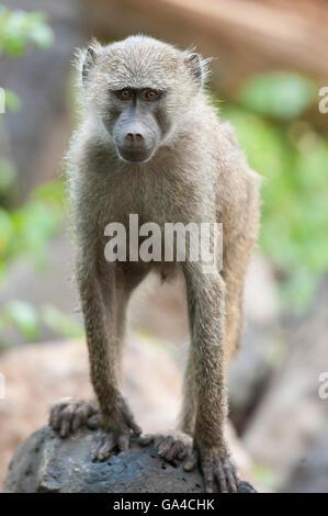 Olive baboon ( Papio cynocephalus anubis), Lake Manyara National Park, Tanzania - Stock Photo