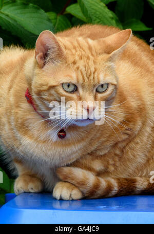 Ginger cat lying on the blue top of a wheelie bin - Stock Photo