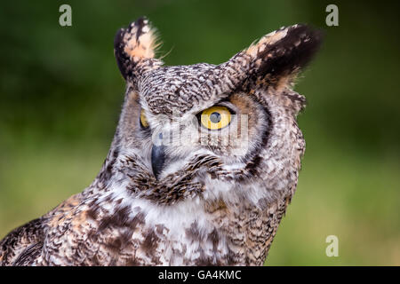 The spotted eagle-owl (Bubo africanus) - Stock Photo