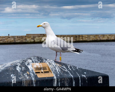 A herring gull Larus argentatus with BTO leg rings in Whitby North Yorkshire England UK - Stock Photo