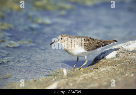 Temminck's Stint (Calidris temminckii) Kalloni Saltpans Lesvos Greece - Stock Photo
