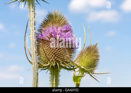 Common teasel, Dipsacus fullonum - Stock Photo