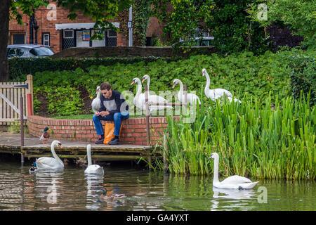 Feeding time on the river Avon, Stratford upon Avon. - Stock Photo