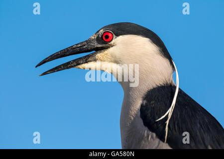 Black-crowned night heron (Nycticorax nycticorax) portrait, Galveston, Texas, USA - Stock Photo