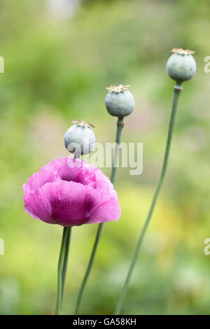 Papaver somniferum. Piurple poppy and seedheads in an English garden. - Stock Photo