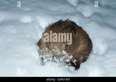 European Beaver, in ice hole, Rosenheim, Bavaria, Germany, Europe / (Castor fiber) - Stock Photo