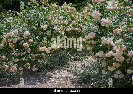 White Rose In Full Bloom Stock Photo Royalty Free Image