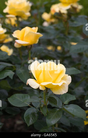 Rosa Glorious 'Interictira'. - Stock Photo
