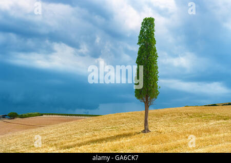 Lonely cypress tree on top of the hill , Tuscany Italy. - Stock Photo