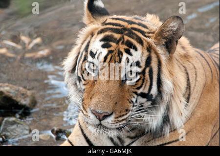 The image of Tiger ( Panthera tigris ) T57 was taken in Ranthambore, India - Stock Photo