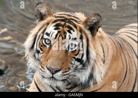 The image of Tiger ( Panthera tigris ) T57 was taken in Ranthambore, India - Stock Photo