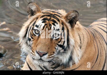 The image of Tiger ( Panthera tigris ) T57 was taken in Ranthambore, India