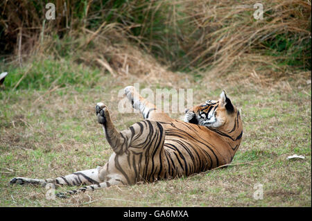 The image of Tiger ( Panthera tigris ) T85 or Pacman was taken in Ranthambore, India - Stock Photo