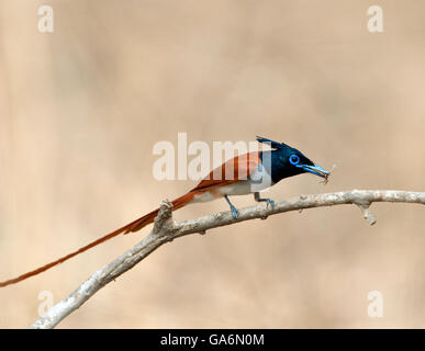 The image of Paradise Flycatcher (Terpsiphone paradisi) was taken in Ranthambore national park, India - Stock Photo