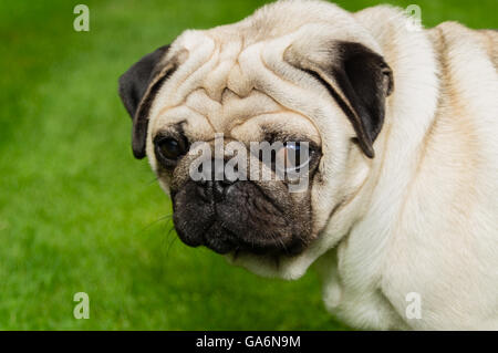 A pug dog outdoors on a lawn - Stock Photo
